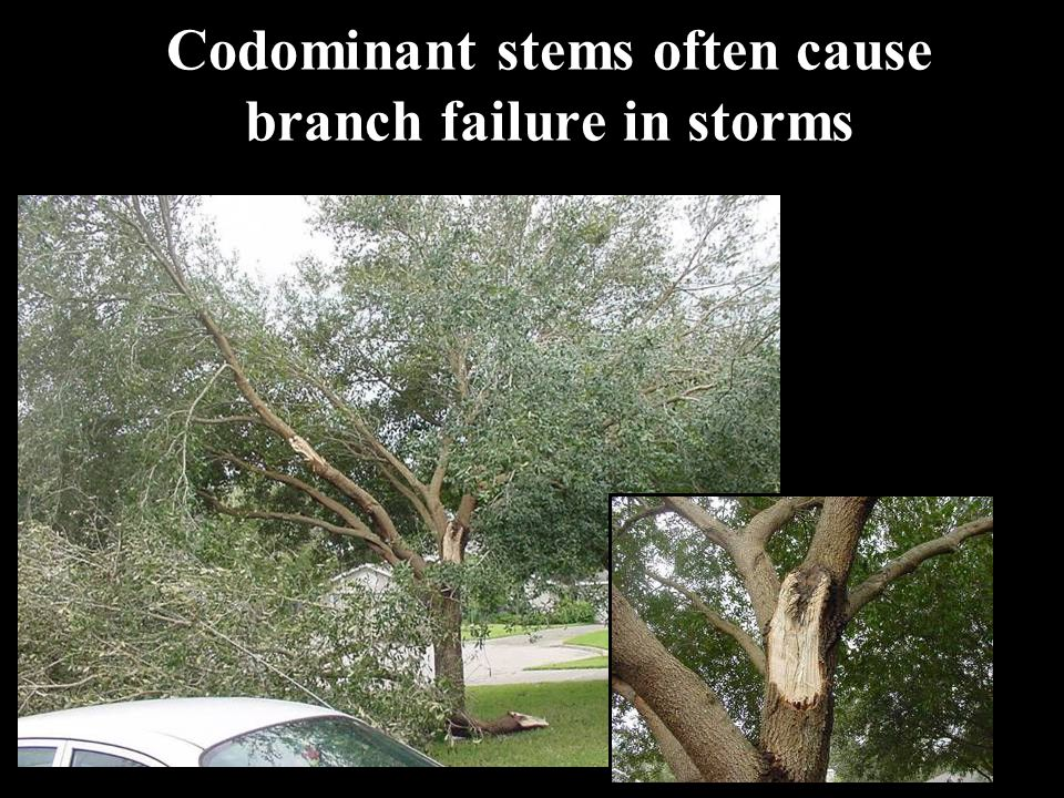 Codominant stems often cause branch failure in storms