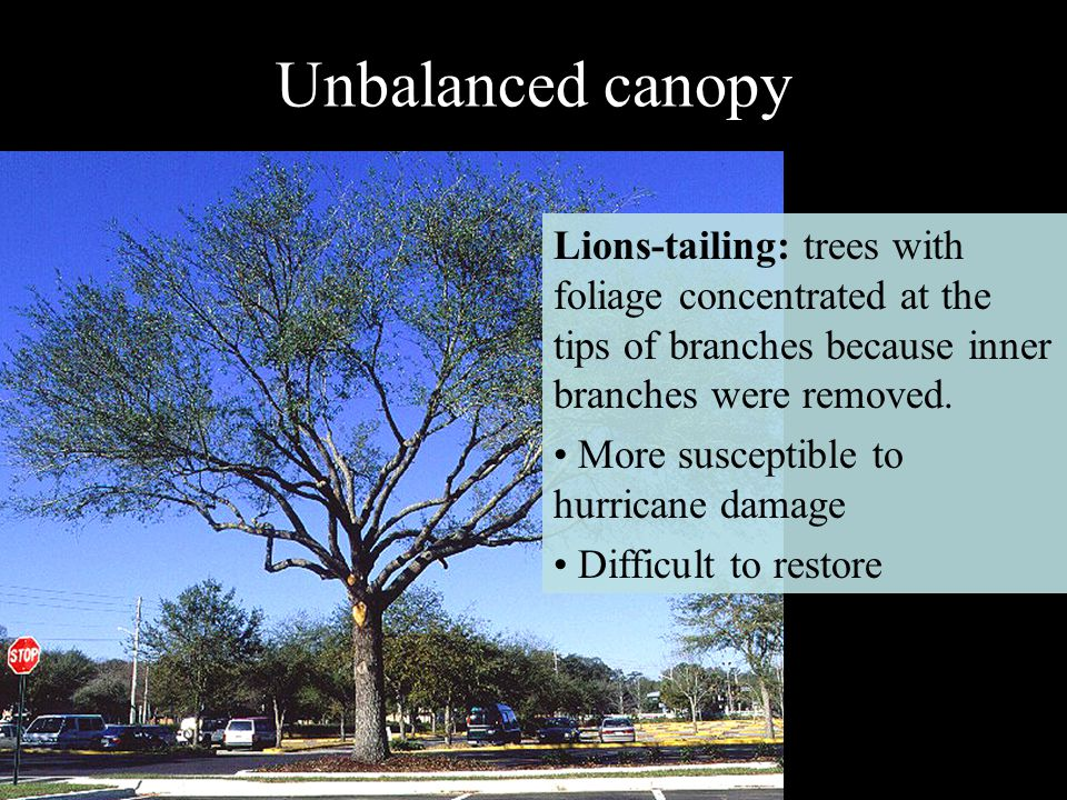 Unbalanced canopy Lions-tailing: trees with foliage concentrated at the tips of branches because inner branches were removed.