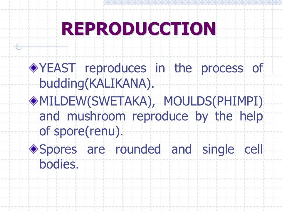 REPRODUCCTION YEAST reproduces in the process of budding(KALIKANA).