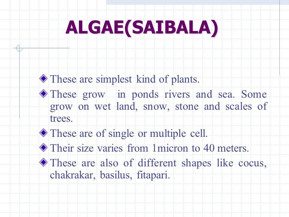ALGAE(SAIBALA) These are simplest kind of plants.