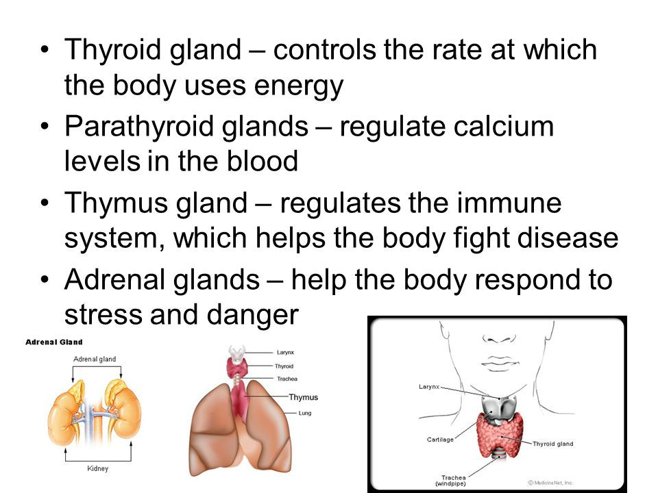 Thyroid gland – controls the rate at which the body uses energy