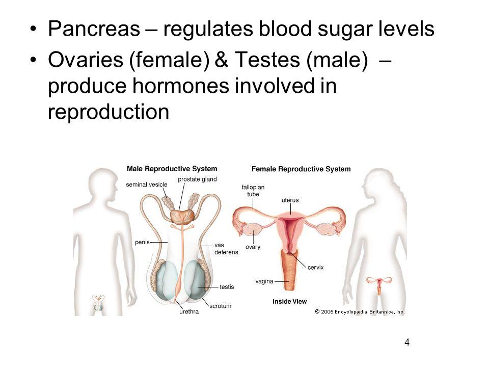 Pancreas – regulates blood sugar levels
