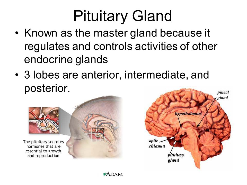 Pituitary Gland Known as the master gland because it regulates and controls activities of other endocrine glands.