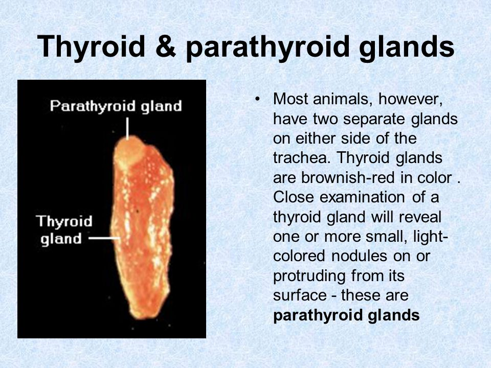 Thyroid & parathyroid glands