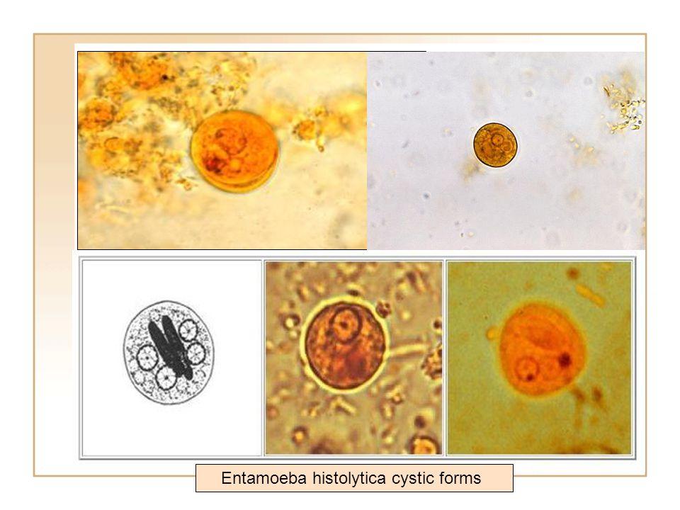 Entamoeba histolytica cystic forms