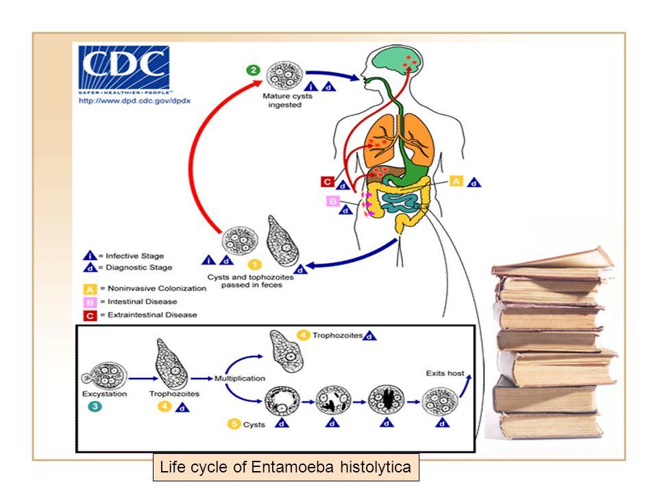 Life cycle of Entamoeba histolytica