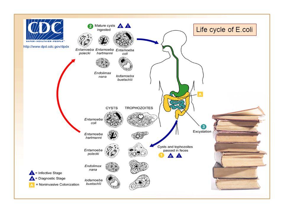 Life cycle of E.coli Life cycle of E.coli Life cycle of E.coli
