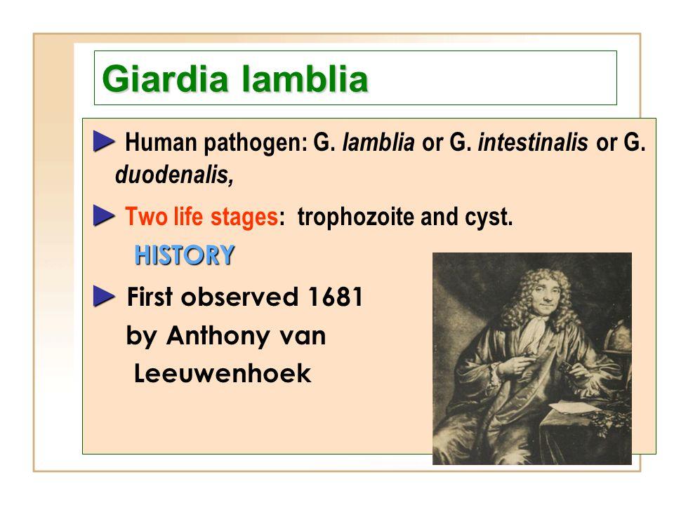 Giardia lamblia ► Human pathogen: G. lamblia or G. intestinalis or G. duodenalis, ► Two life stages: trophozoite and cyst.