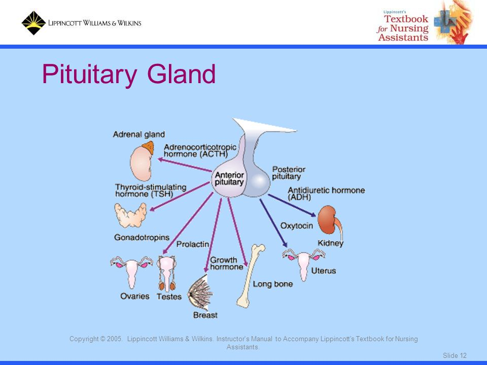 Pituitary Gland Copyright © 2005. Lippincott Williams & Wilkins. Instructor s Manual to Accompany Lippincott s Textbook for Nursing Assistants.