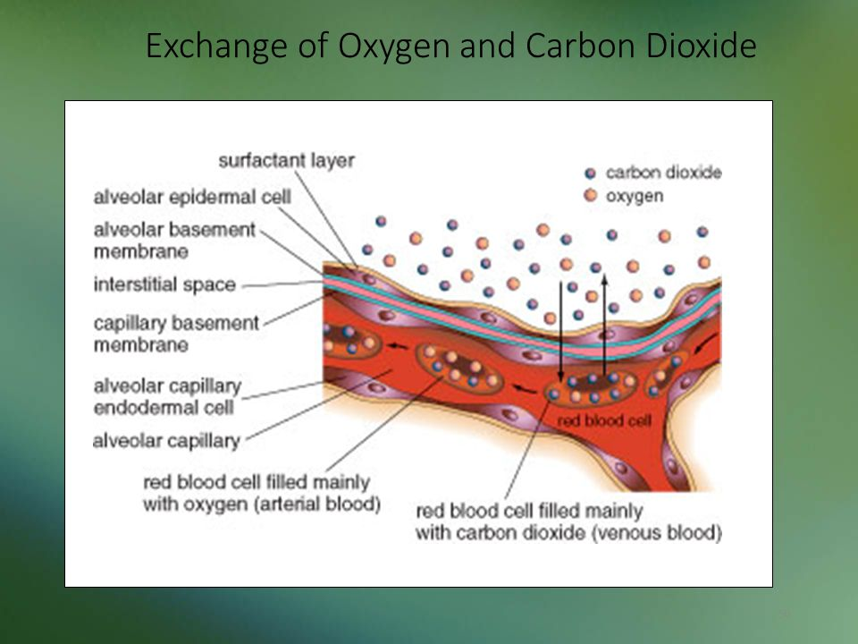 Exchange of Oxygen and Carbon Dioxide