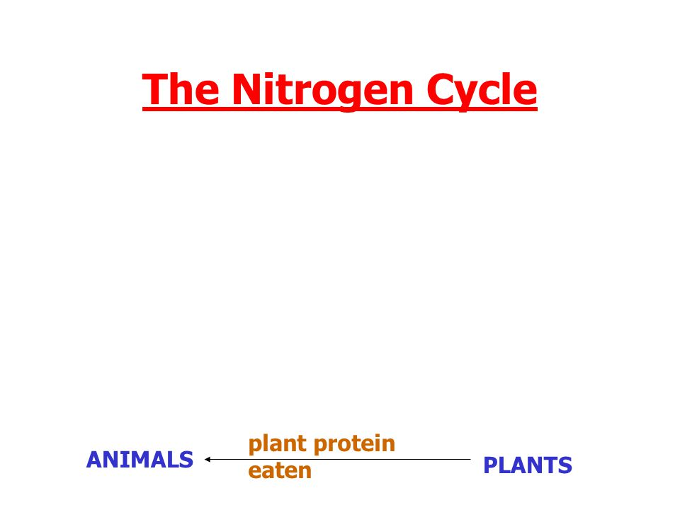 The Nitrogen Cycle plant protein eaten ANIMALS PLANTS