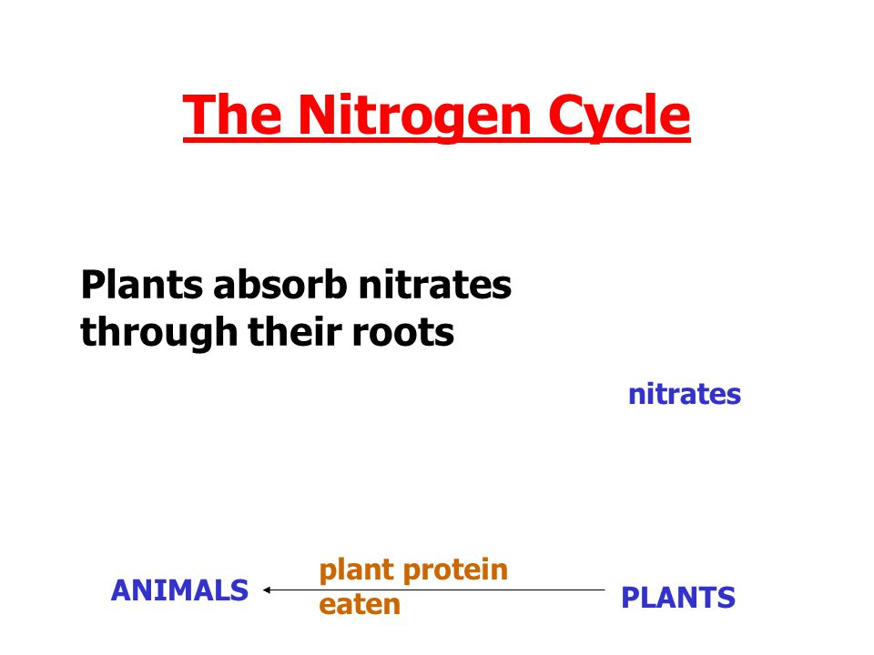 The Nitrogen Cycle Plants absorb nitrates through their roots nitrates
