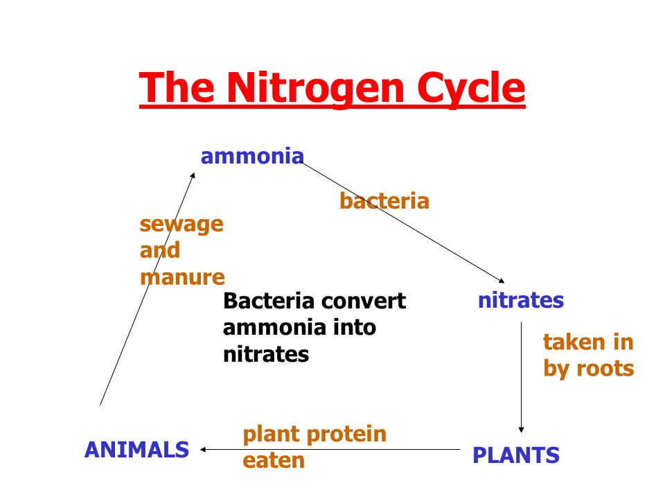 The Nitrogen Cycle ammonia bacteria sewage and manure Bacteria convert