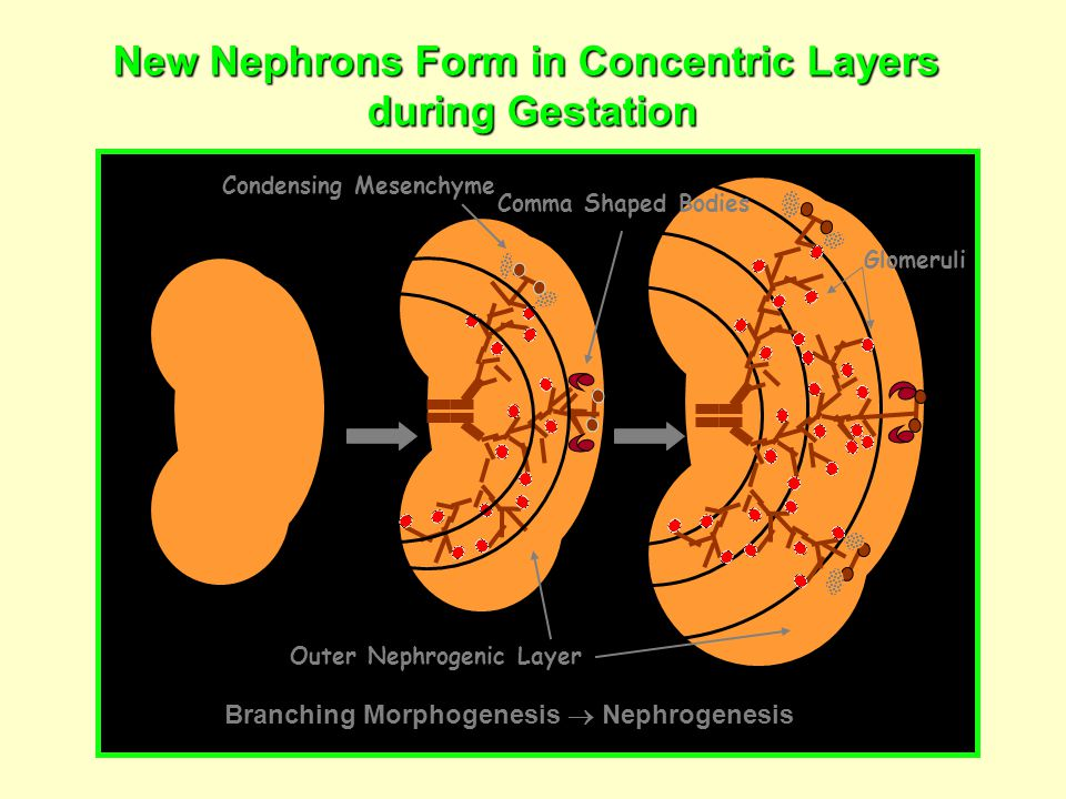 New Nephrons Form in Concentric Layers during Gestation