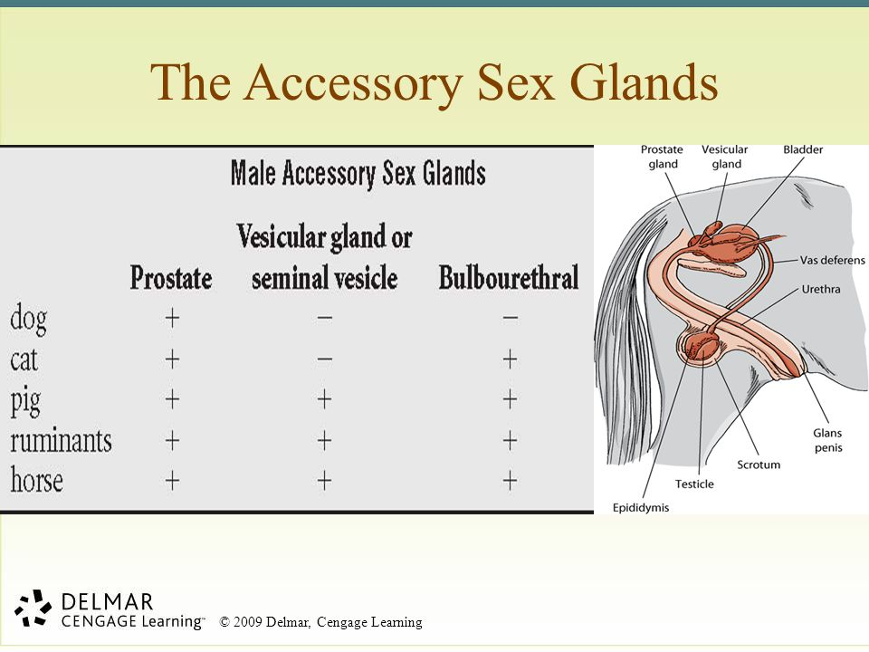The Accessory Sex Glands