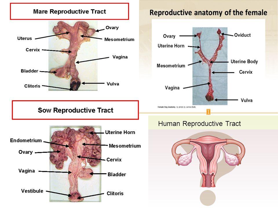 Human Reproductive Tract