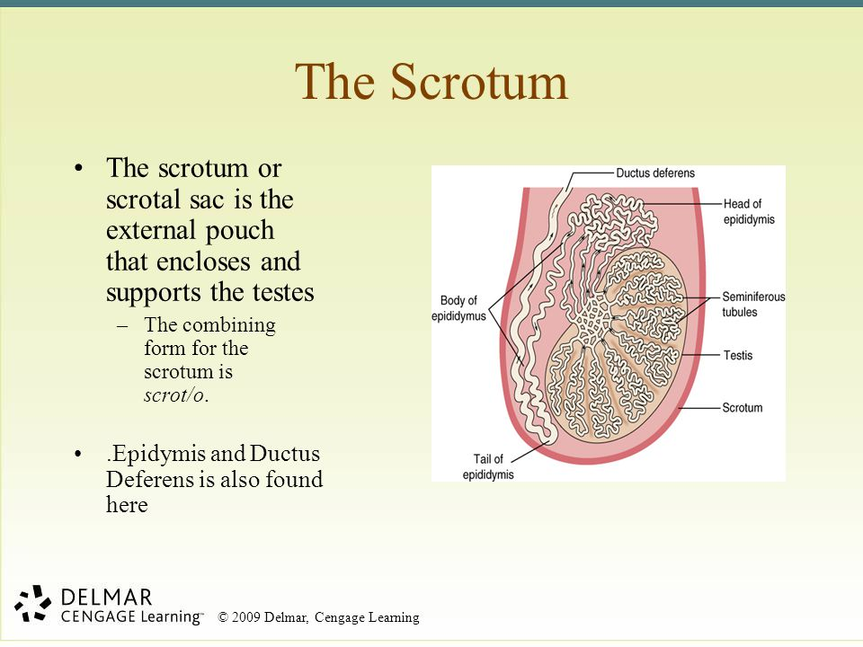 The Scrotum The scrotum or scrotal sac is the external pouch that encloses and supports the testes.