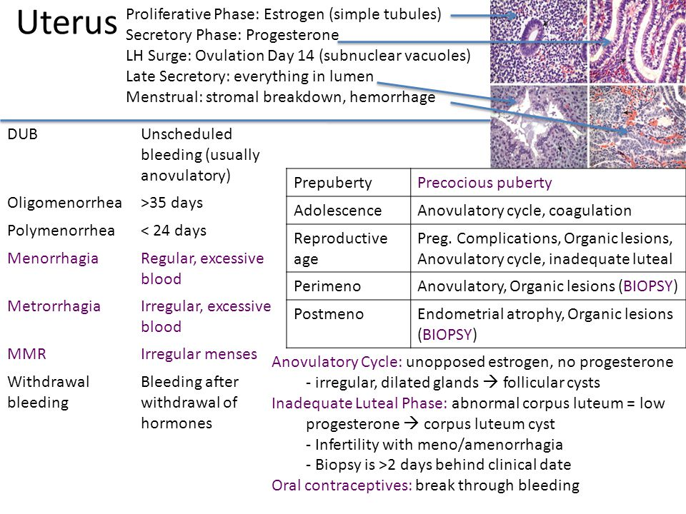 Uterus Proliferative Phase: Estrogen (simple tubules)
