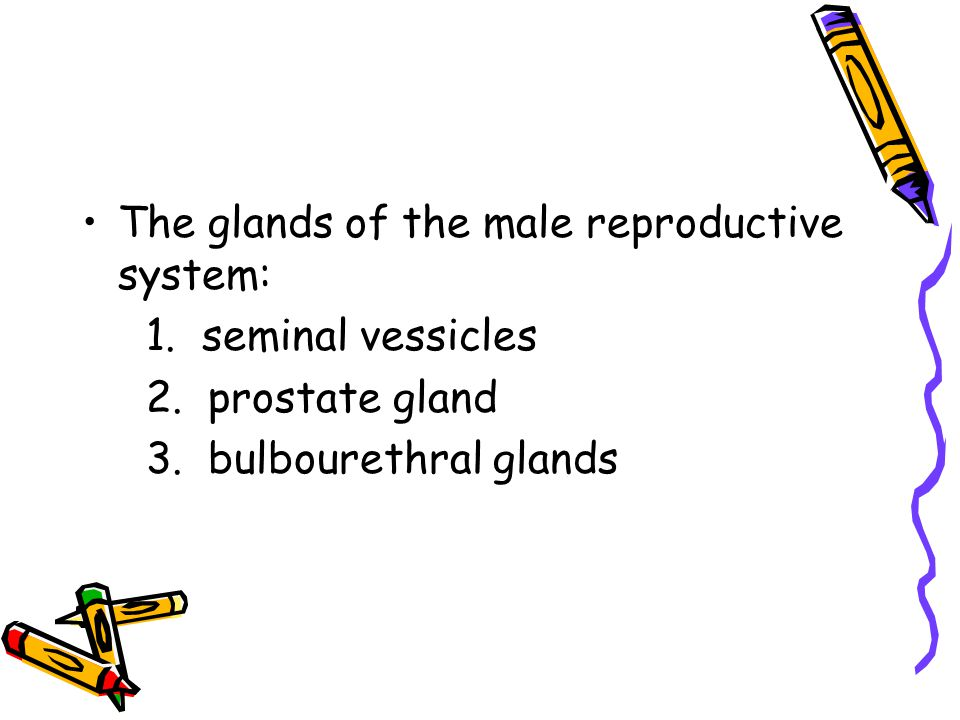 The glands of the male reproductive system: