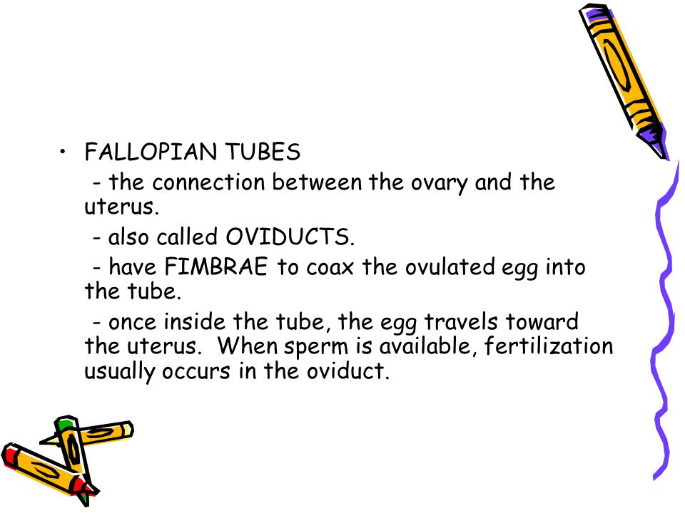 FALLOPIAN TUBES - the connection between the ovary and the uterus. - also called OVIDUCTS. - have FIMBRAE to coax the ovulated egg into the tube.