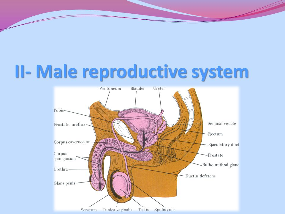 II- Male reproductive system