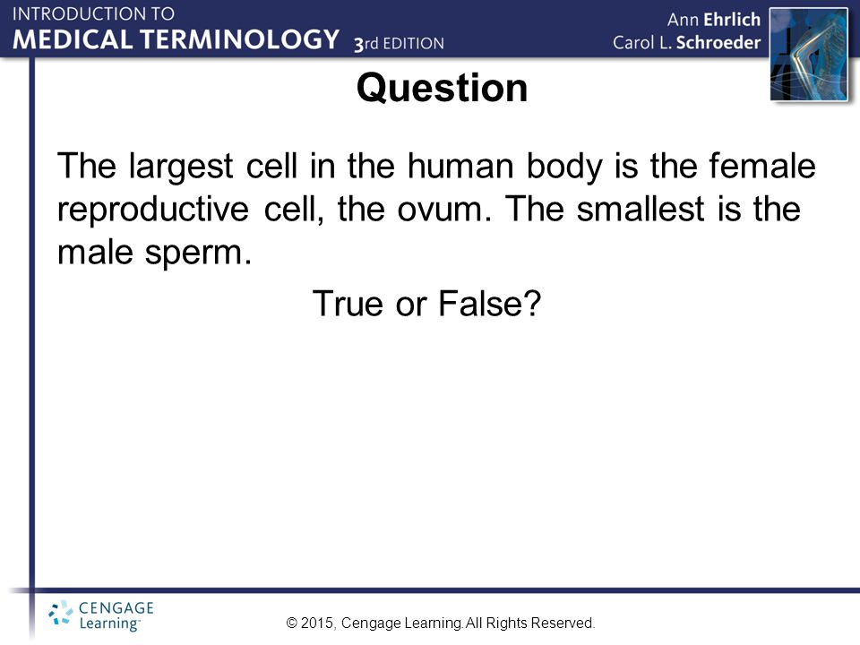 Question The largest cell in the human body is the female reproductive cell, the ovum. The smallest is the male sperm.