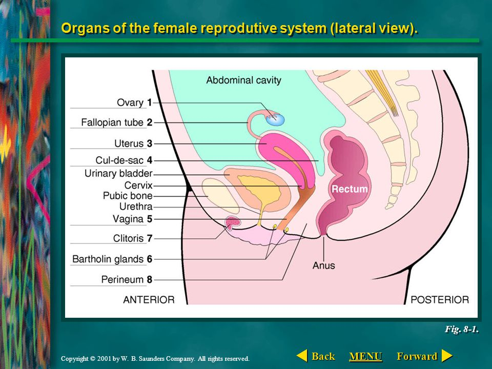 Organs of the female reprodutive system (lateral view).