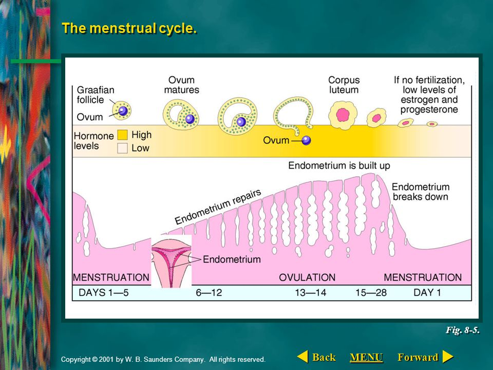 The menstrual cycle. Back MENU Forward Fig. 8-5.