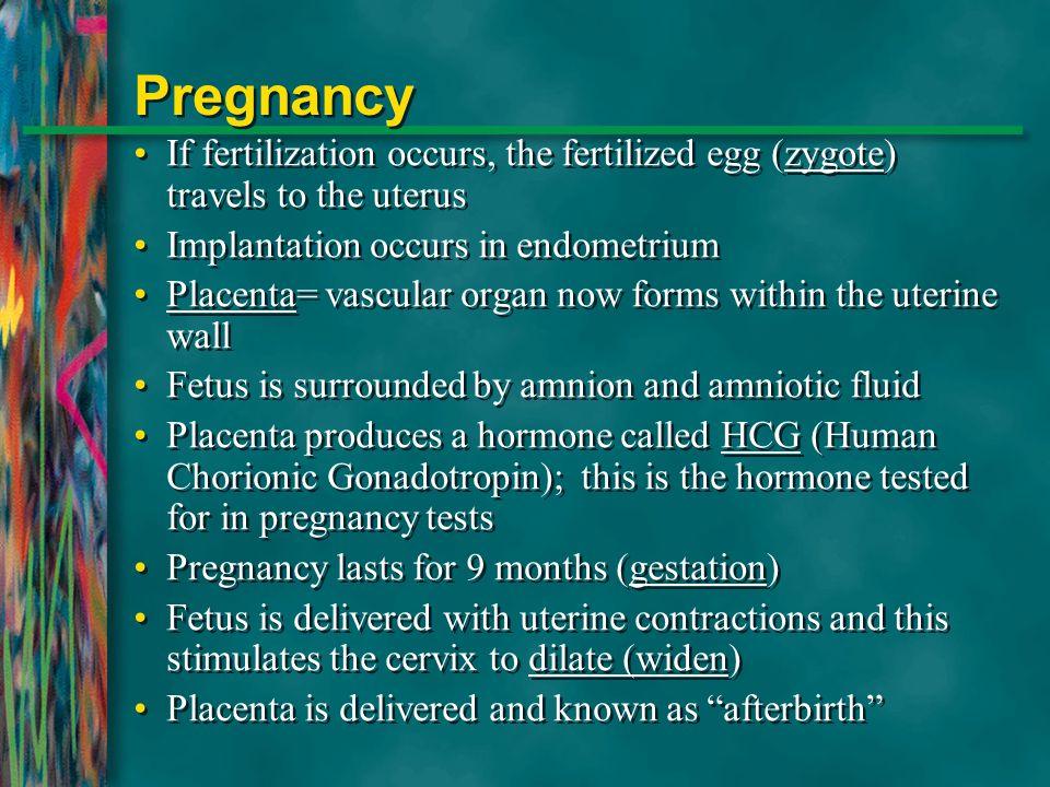Pregnancy If fertilization occurs, the fertilized egg (zygote) travels to the uterus. Implantation occurs in endometrium.