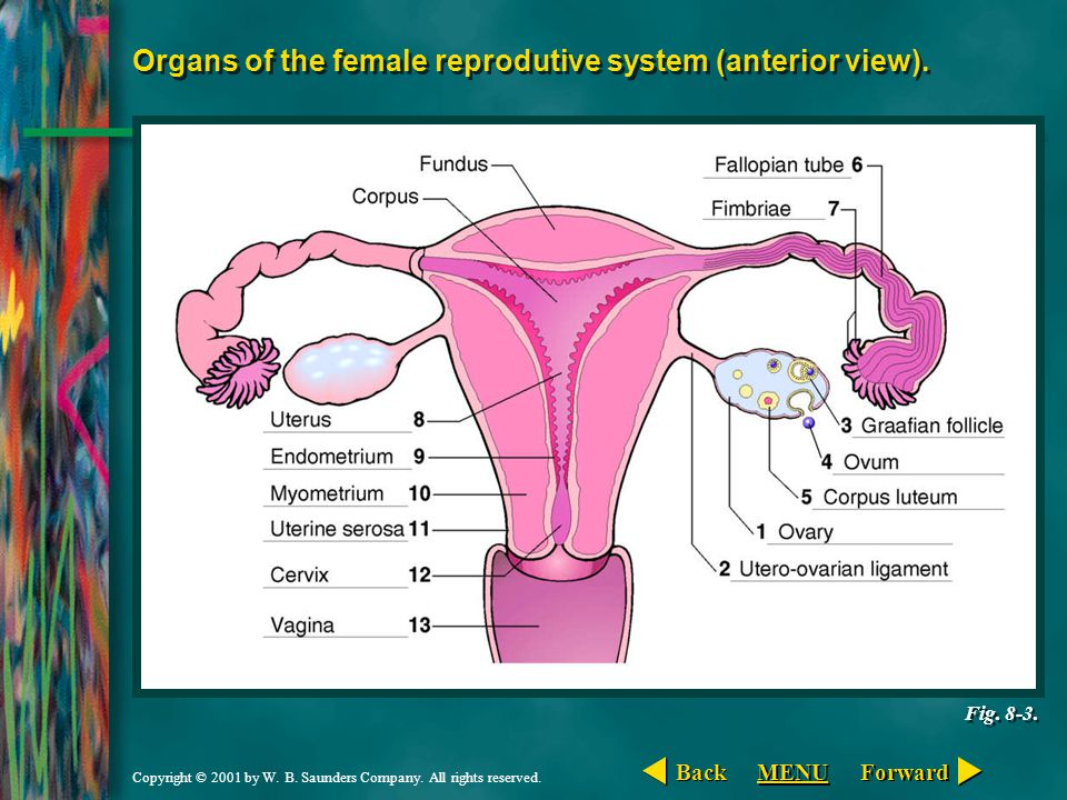 Organs of the female reprodutive system (anterior view).