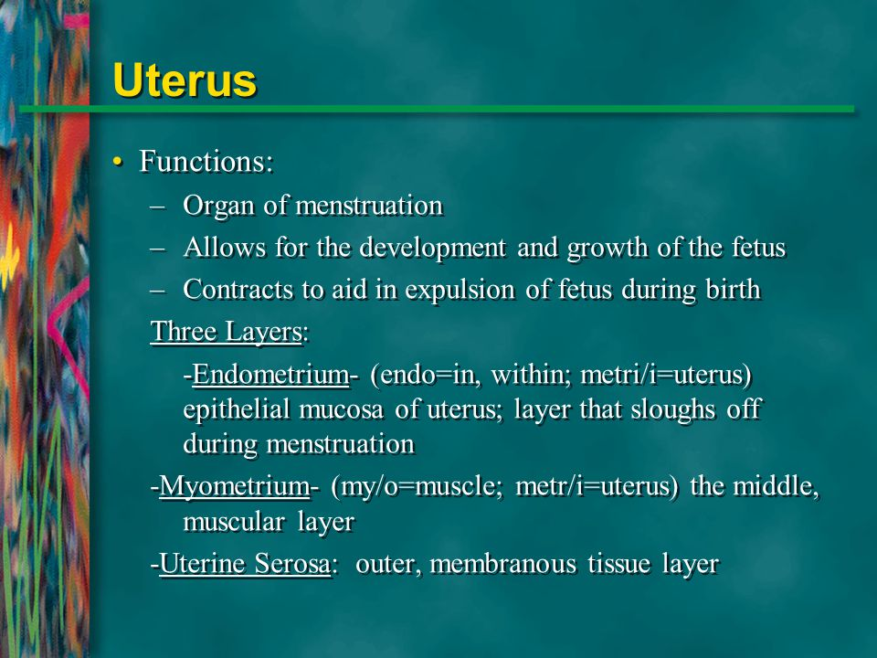 Uterus Functions: Organ of menstruation