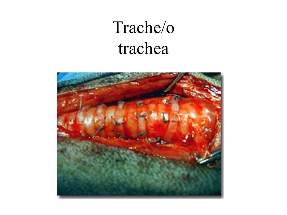 Trache/o trachea