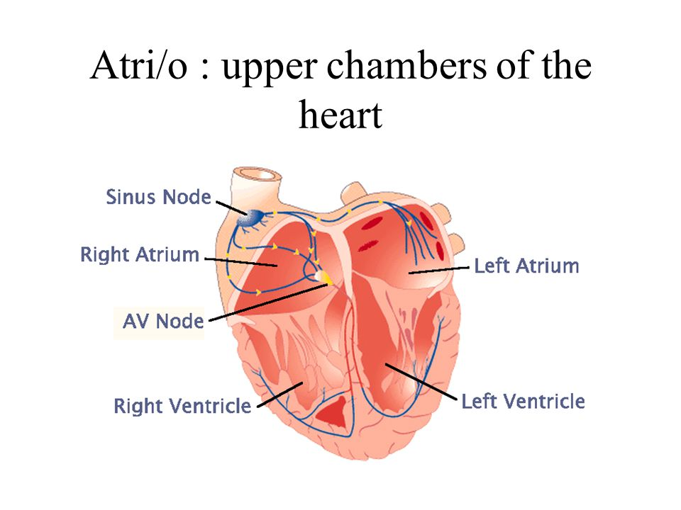 Atri/o : upper chambers of the heart