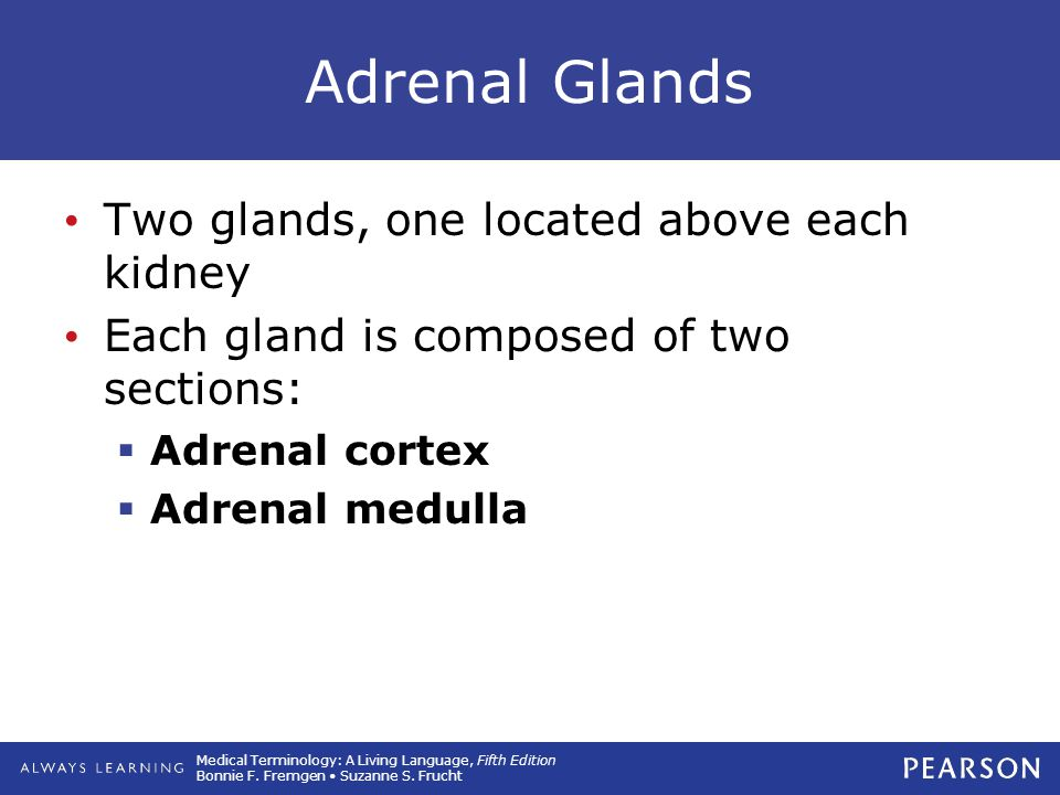 Adrenal Glands Two glands, one located above each kidney