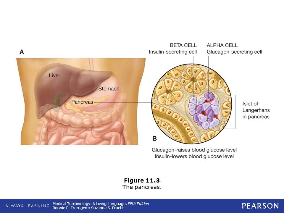 Figure 11.3 The pancreas.