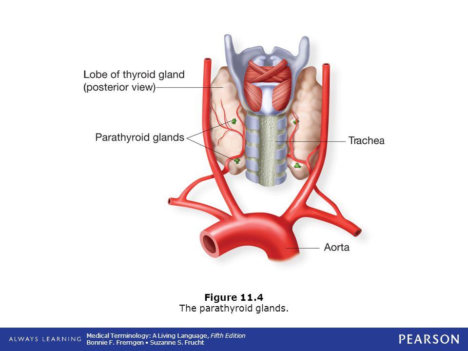 Figure 11.4 The parathyroid glands.