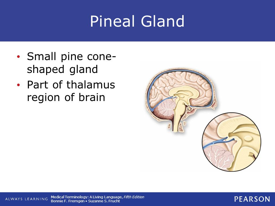 Pineal Gland Small pine cone-shaped gland
