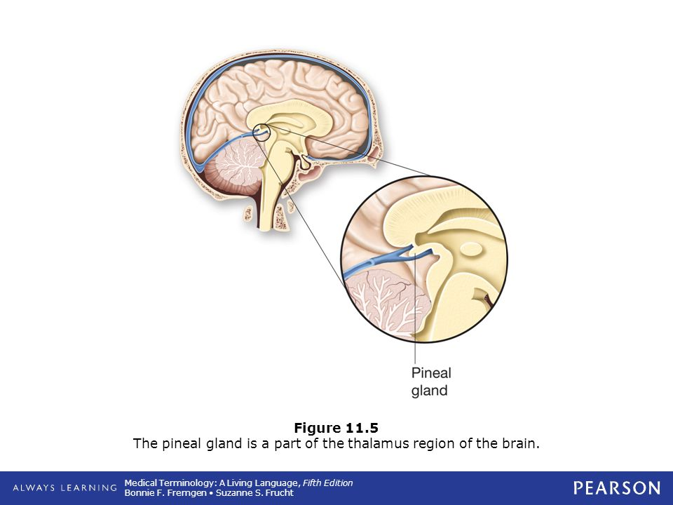 Figure 11.5 The pineal gland is a part of the thalamus region of the brain.