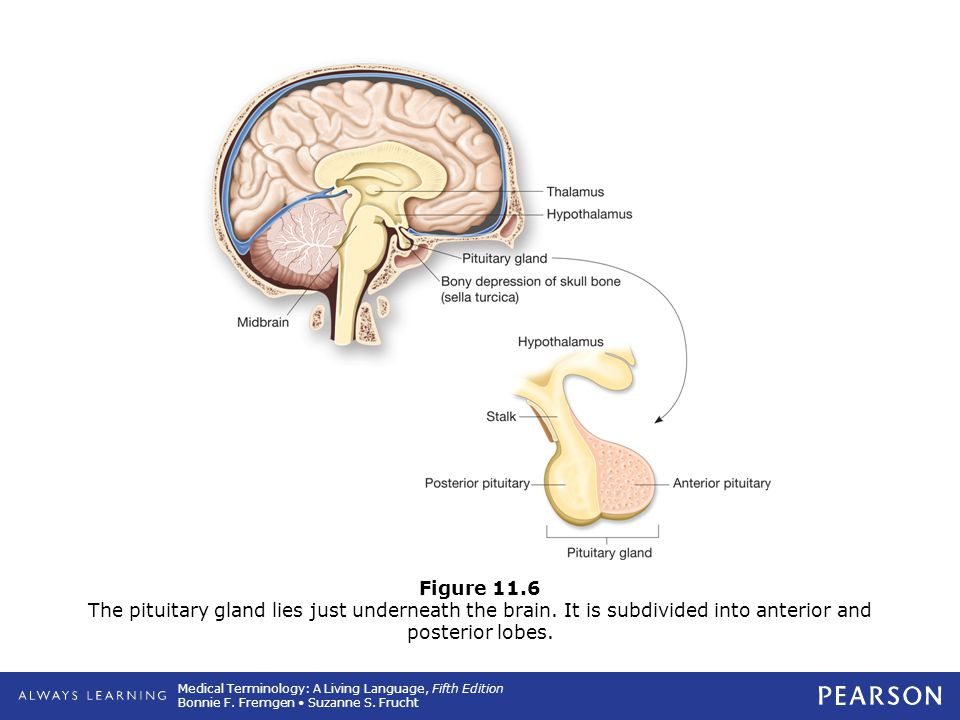 Figure 11. 6 The pituitary gland lies just underneath the brain