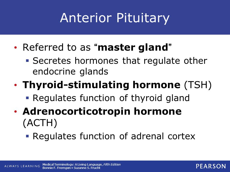 Anterior Pituitary Referred to as master gland