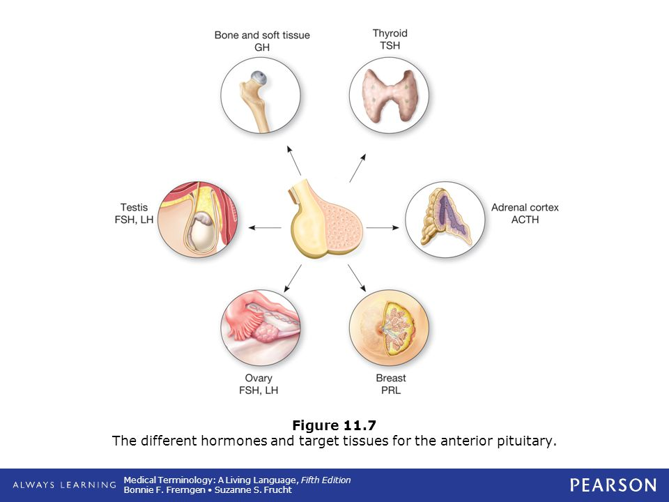 Figure 11.7 The different hormones and target tissues for the anterior pituitary.
