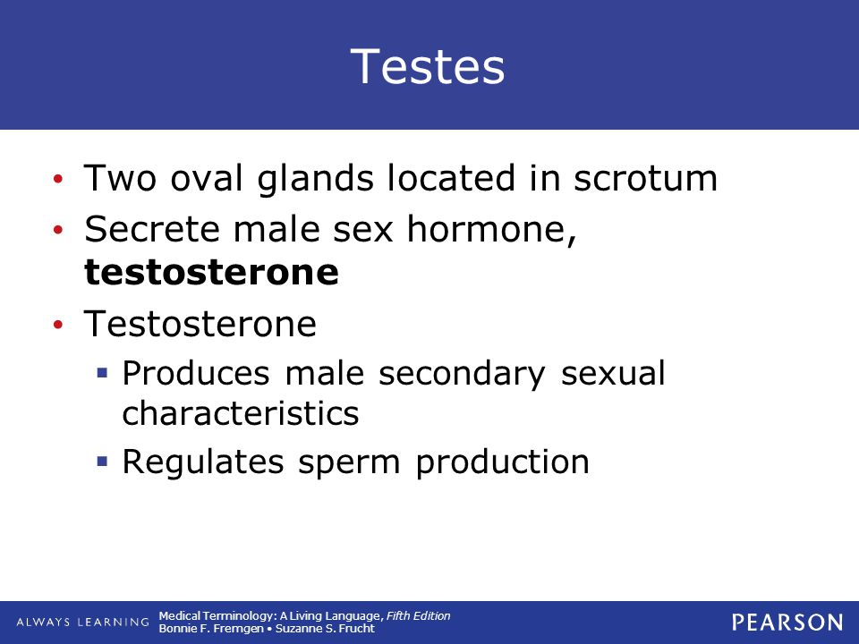 Testes Two oval glands located in scrotum