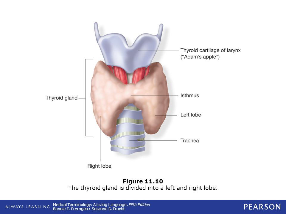 Figure 11.10 The thyroid gland is divided into a left and right lobe.