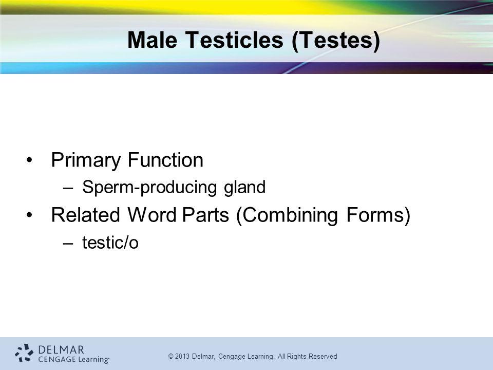 Male Testicles (Testes)