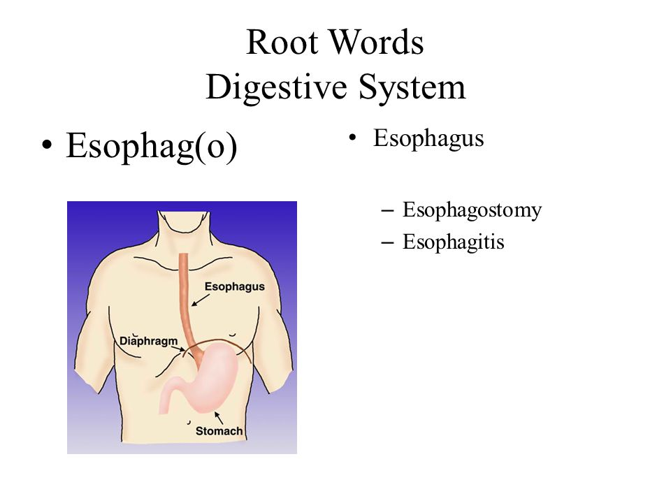 Root Words Digestive System