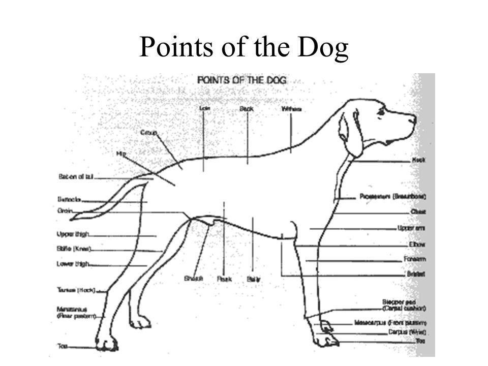 Points of the Dog