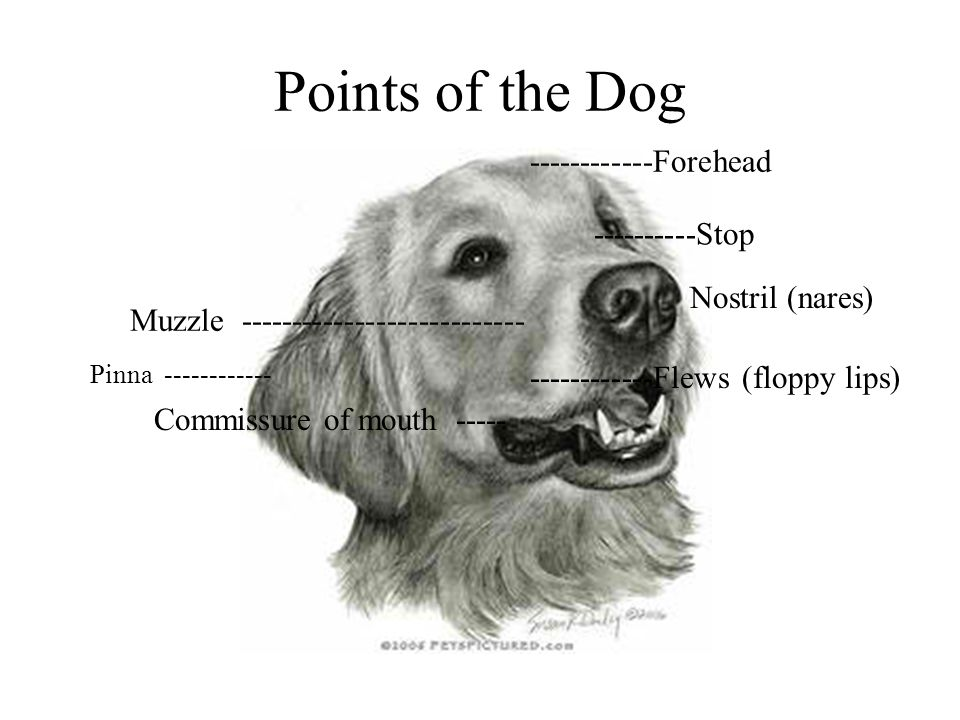 Points of the Dog ------------Forehead ----------Stop Nostril (nares)