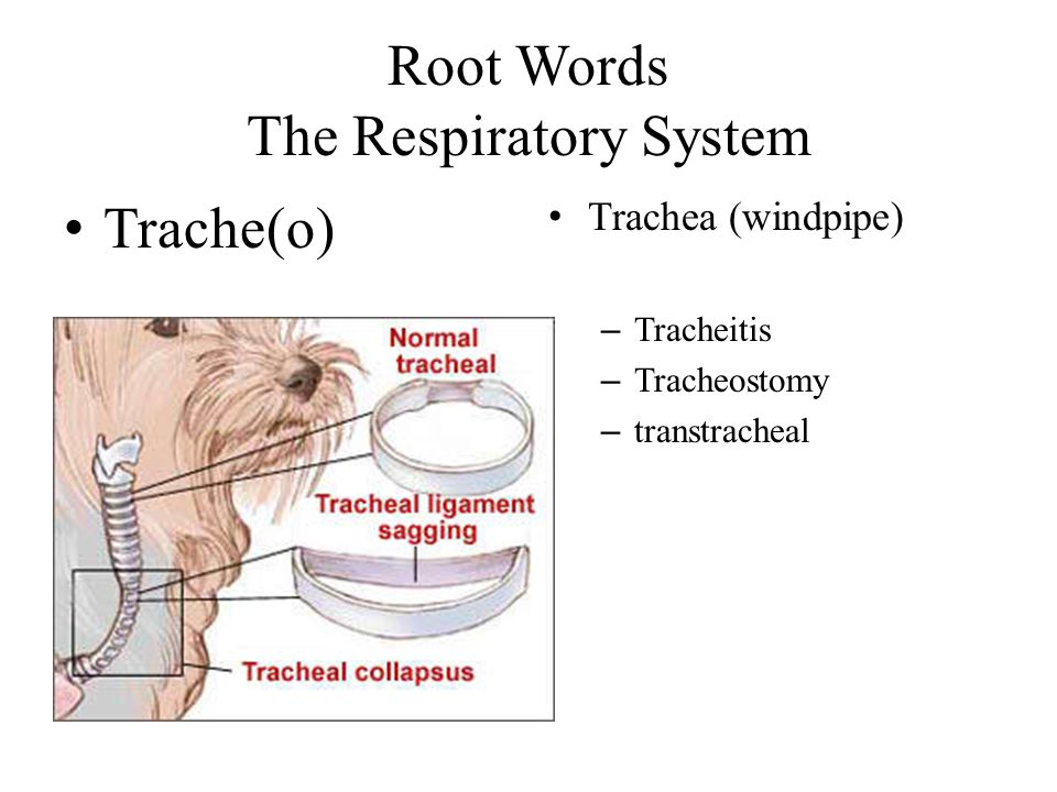 Root Words The Respiratory System
