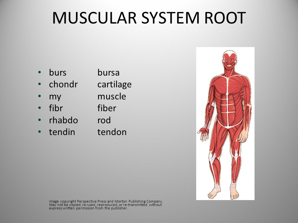 MUSCULAR SYSTEM ROOT burs bursa chondr cartilage my muscle fibr fiber