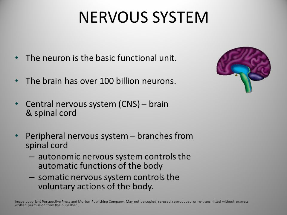 NERVOUS SYSTEM The neuron is the basic functional unit.